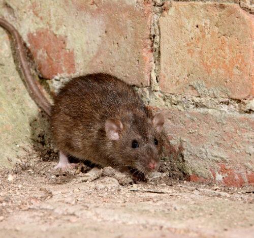 rat control control Cambridgeshire