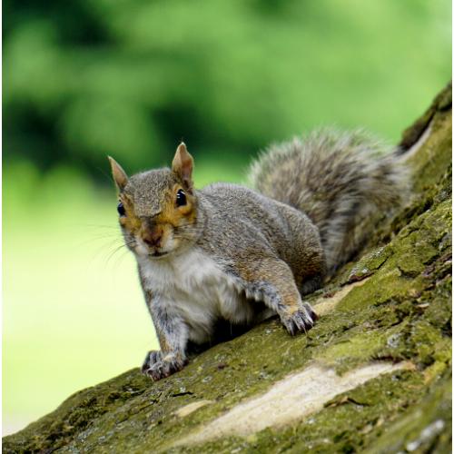 Squirrel Control Cambridgeshire
