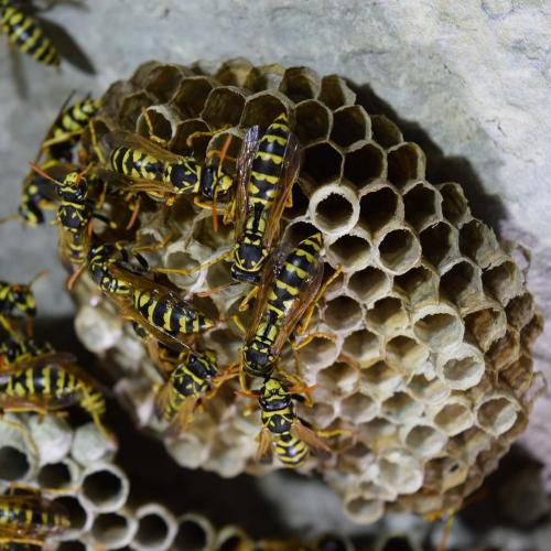 wasp nest removal Cambridgeshire