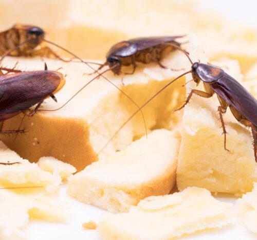 Cockroach control Cambridgeshire