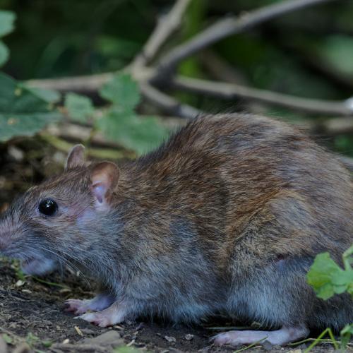 Rat Control Cambridgeshire